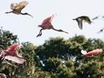 Flying spoonbills
