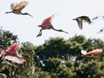 Flying spoonbills